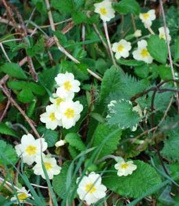 Primula vulgaris, Primroses