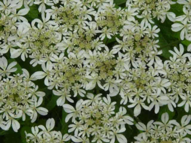 Heracleum spondylium, hogweed